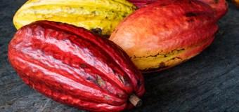 El Cacao es la nueva ruta a la longevidad