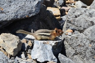 Lake Louise Chipmunk