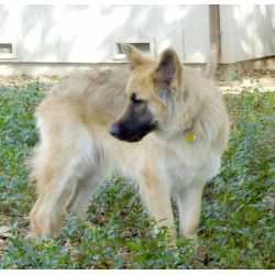 Small Crop Of German Shepherd Long Hair