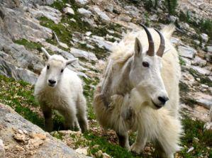 steves goat