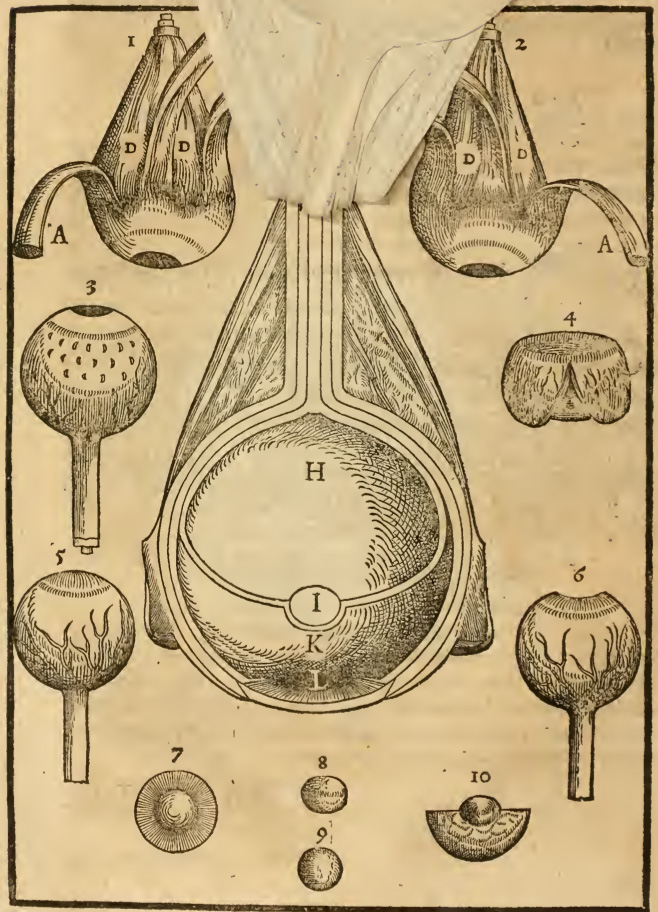 The mediate eye as represented in Bartisch in 1583. Here emptied of its other humors. Flap anatomy between pages 8 and 9.