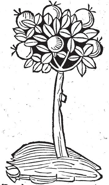Myrrh from the Hortus Sanitatis.