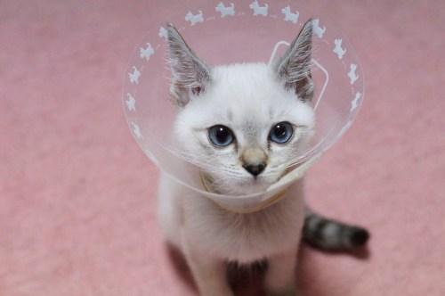 わさびちゃんちの保護猫だったもめんちゃん。首の周りの真菌がなかなか治らず、長らくカラーをつけていました。