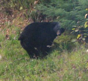 Black bears are famous for squatting, although they normally do it in the woods.