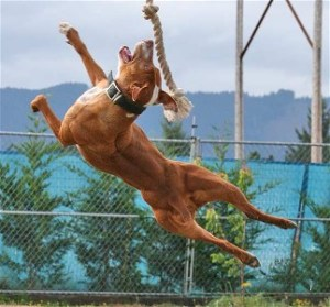 Did they try lowering a rope within pit bull jumping range?