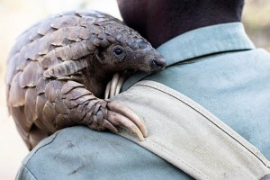 For extra flavor, harvesters hug the pangolin before punting it into the grinder.