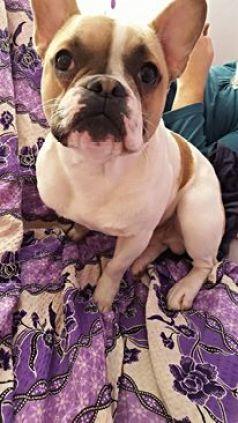 teddy bulldog francez