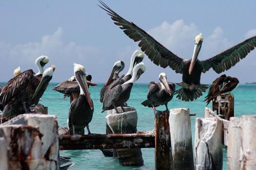 Pelícanos en el Puerto