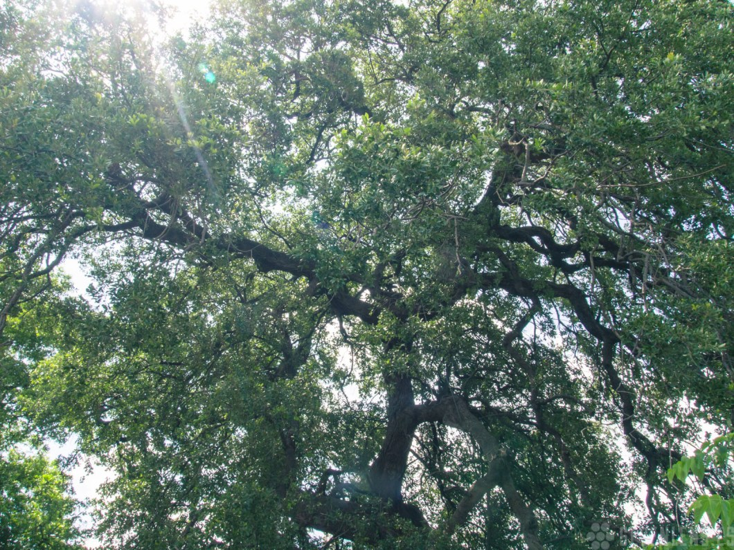 "Treaty Oak in Austin, Texas is the last of the 14 Council Oaks. Estimated to be over 500 years old, it was poisoned in 1989 with enough poison to ""kill 100 trees""."