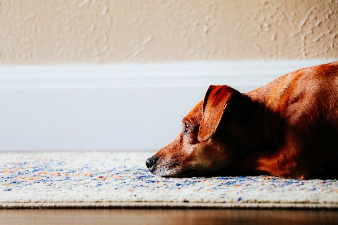 dog laying on a runner rug next to a wall