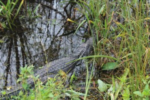 Alligator in Shark Valley Everglades