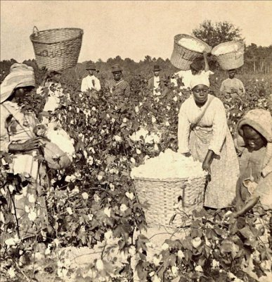 Enslaved Africans work the cotton fields.