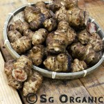 Brown sunroot or sunchoke