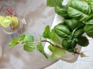 how to cut mint leaves from plant