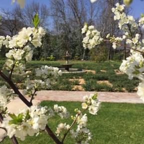 fountain blossoms