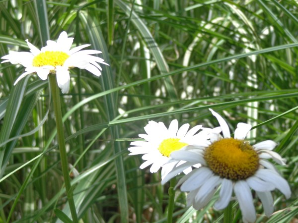 daisies in the daylight on Shalavee.com