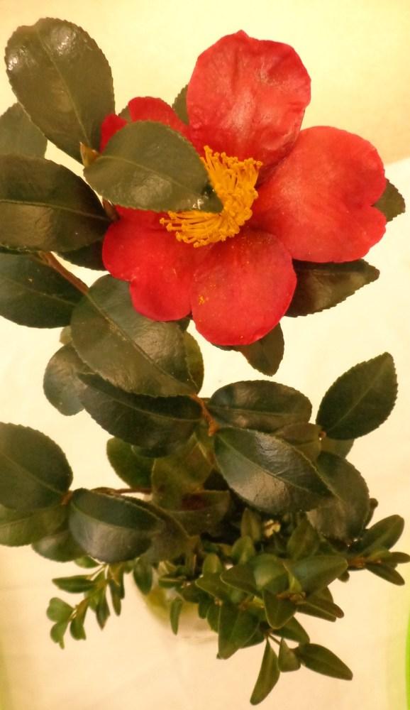 camelia blossom on shalavee.com