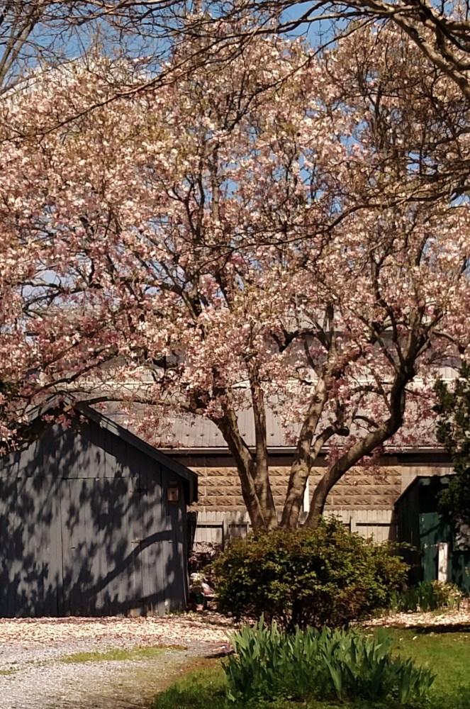flowering trees on shalavee.com