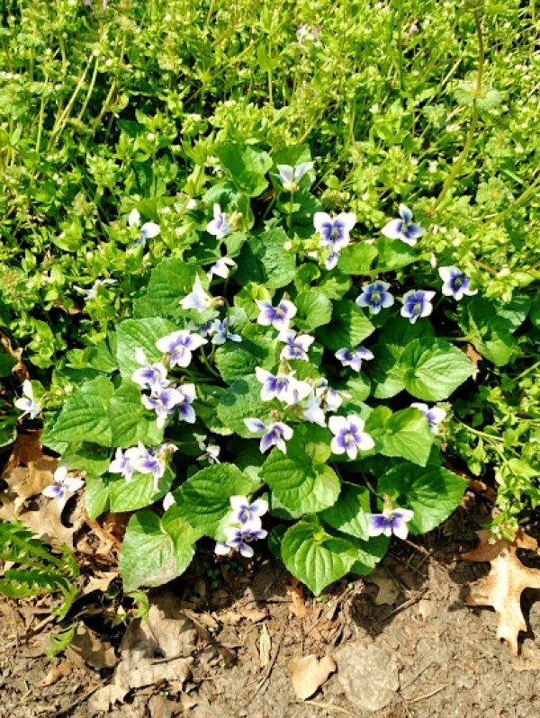 white violets on Shalavee.com