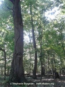 woods scene dayspring w c