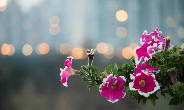 Pink-flowers-with-bokeh- in-background-#fridayfiction
