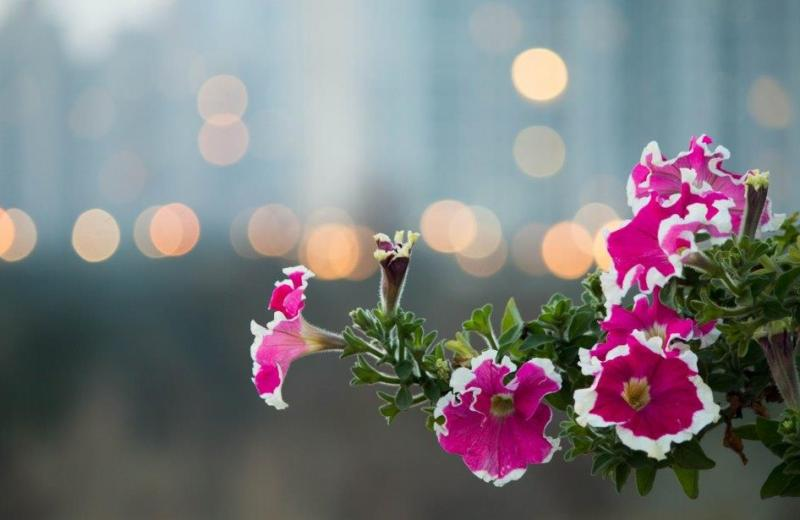 Pink-flowers-with-bokeh- in-background-fridayfiction