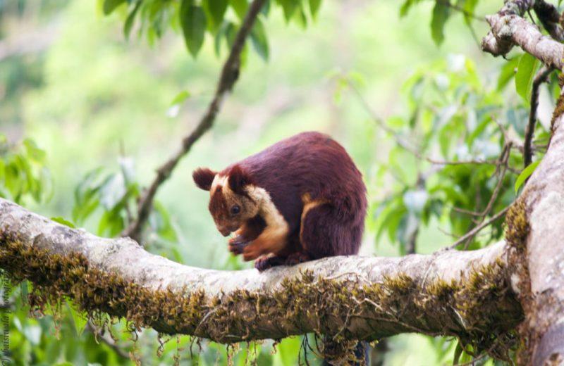 Malabar-squirrel-treehouse-vythiri-resorts-wayanda-kerela-india-travel