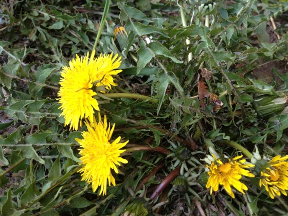 One of many dandelion plants