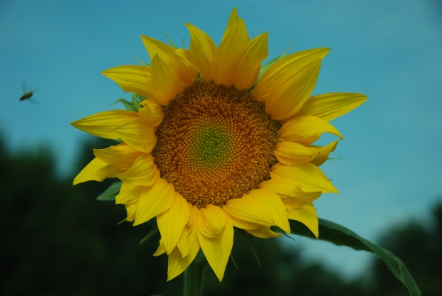 One small sunflower yields 800 seeds-One large sunflower yields 2000