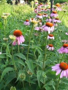 Beautiful perennial medicinal flower with long lasting blooms - great landscape flower/herb for immune system.
