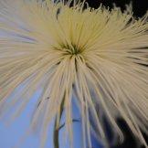 Chrysanthemum-009