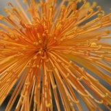 Chrysanthemum-014