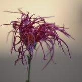 Chrysanthemum-017