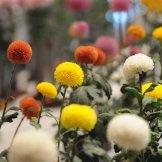 Chrysanthemum-018