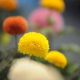Chrysanthemum-019
