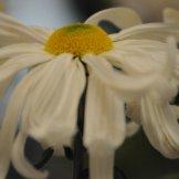 Chrysanthemum-027