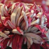 Chrysanthemum-044