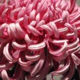 Chrysanthemum-046