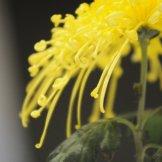 Chrysanthemum-049