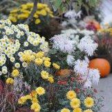 Chrysanthemum-057