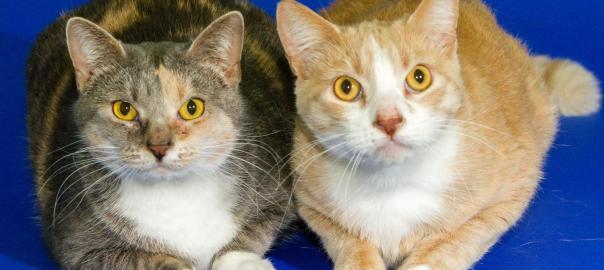 Adopt Sibling Cats