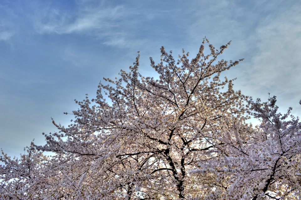 Sakura with blue skies
