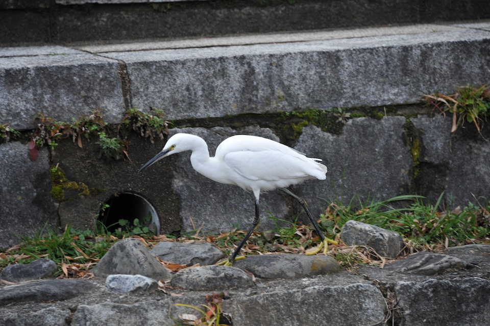Heron on Kamogawa