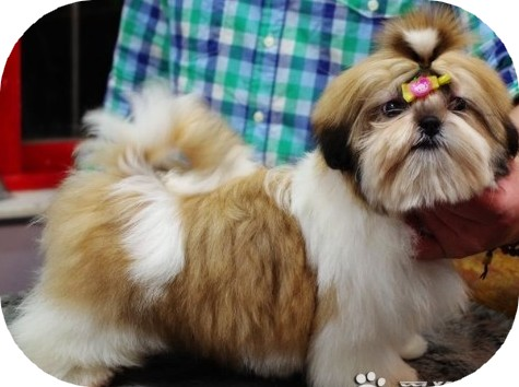 Description du shih tzu