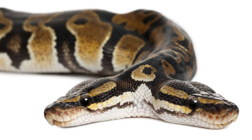 two-headed-snake-2