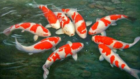 Ini Dia Urutan Cara Budidaya Ikan Koi Agar Hasil Memuaskan