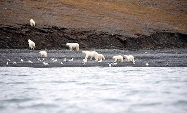Lunch arrives on Wrangel Island, and 230 polar bears show up for the feast
