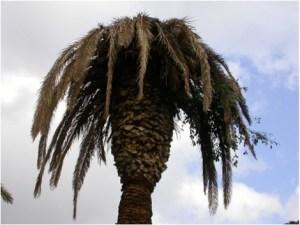 palmiermourant