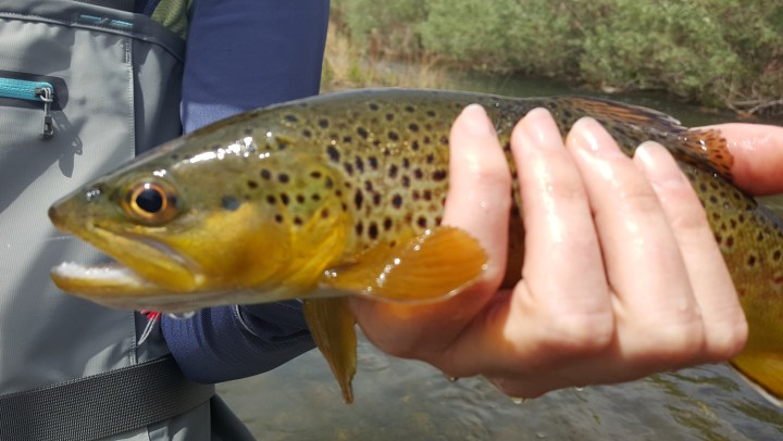 Lower Owens Fly Fishing