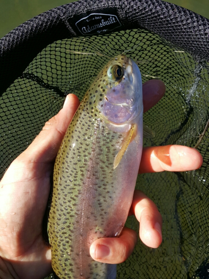 Hot Creek Fly Fishing -  Rainbow Trout